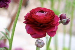 Red R flower